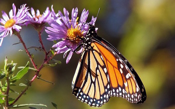 Populations of monarch butterflies and other pollinators have declined sharply. (PublicDomainPictures/Pixabay)