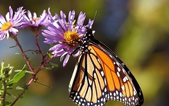 Fans of pollinators warn that Monarch butterfly numbers have fallen by 90 percent. (Pixabay)