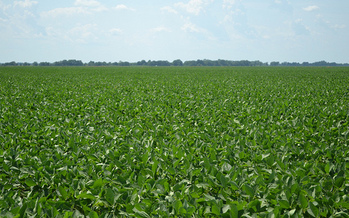 Soybeans are used as biofuels and grown in abundance in the Midwest. (United Soybean Board/Flickr)