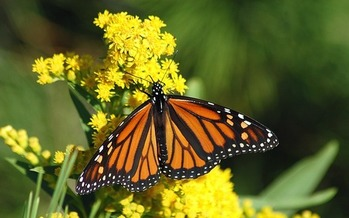 Pollinators such as Monarch butterflies, certain birds and bats are an integral part of the health of natural ecosystems and agriculture. (Bill Barlow/Pixabay)