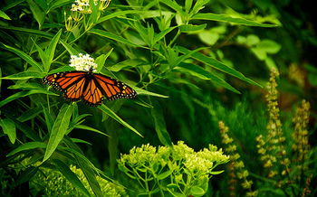Monarch butterfly populations have plummeted 90 percent over the past two decades. (bark/Flickr)
