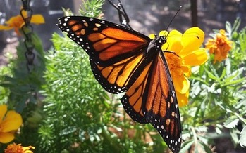 Iowa is one of six states that have made a commitment to provide habitats for monarch butterflies and other pollinators along Interstate 35. (StarbuckATC/Pixabay)