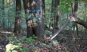 A timber sale in some of Indiana's most popular forests begins on Nov. 9. (Dave Simcox)