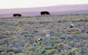 Protections for sage grouse include provisions for ranchers to graze their animals. (Ken Miracle/U.S. Department of Agriculture)