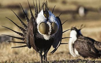 The Trump administration is considering changes to an Obama-era conservation plan for the sage grouse, a bird famous for its mating dance. (BLM)
