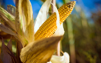 Millions of acres of uncultivated habitat have been converted to cropland to grow corn and other products used to produce ethanol. (Westend61/GettyImages)<br />