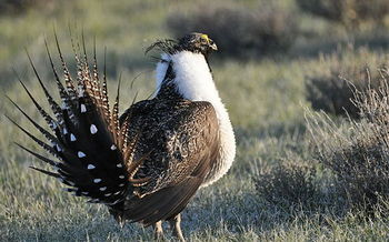 The deadline for public comments on changes to sage-grouse habitat conservation plans was extended to Friday. (USFWS)
