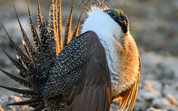 Public comment on the Interior Department's planned changes to sage grouse protection ends tomorrow, Dec. 1. (abcbirds.org)