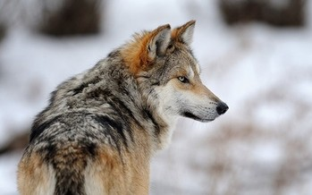 The large populations of gray wolves that once roamed the Southwest were killed off because of the threat they posed to cattle ranchers. (earthjustice.org)