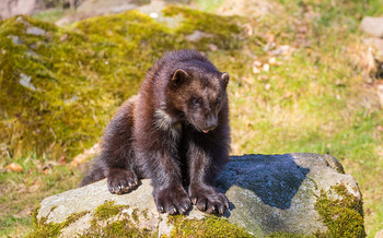 Conservation efforts in Idaho helped recover wolverine populations. (Susanne Nilsson/Flickr)