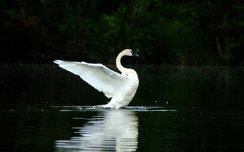 Trumpeter swan populations are in decline in South Dakota, according to the state. (Cecil Sanders/Flickr)