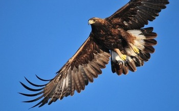 The golden eagle has been identified as one of many iconic wildlife species in need of greater protections in Colorado. (Pixabay)