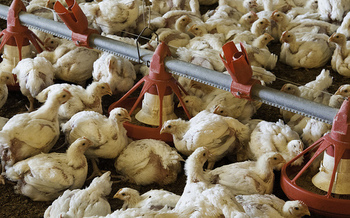 Ohio's annual broiler chicken production is valued at $277 million. (U.S. Department of Agriculture/Flickr)