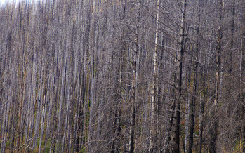 Researchers found one-third of forests in five western states, including Montana, haven't come back after forest fires over the last 30 years. (Jim Handcock/Flickr)