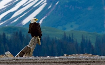 The bald eagle has been identified as one of many iconic wildlife species in need of greater protections in Wyoming. (Pixabay)