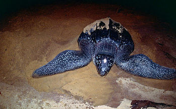 Eastern Pacific leatherback sea turtle populations on the West Coast have decreased by more than 97 percent in the last three generations. (Bernard Dupont/Wikimedia Commons)
