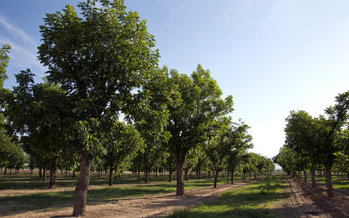 Some pecan growers in New Mexico have resorted to hiring private security guards to quell a rash of thieves stealing the nuts to sell them. (nmsu.edu)