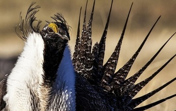 Wyoming has the largest remaining intact habitat for the greater sage grouse, whose populations have decreased by as much as 95 percent from historic levels. (BLM)
