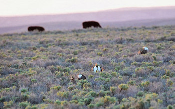 The sage grouse conservation plan helps protect more than 350 species. (Ken Miracle/U.S. Department of Agriculture)
