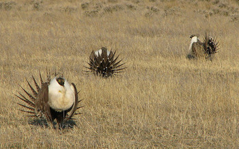 Washington's U.S. senators have criticized the Interior Department's proposed changes the sage grouse conservation plan. (U.S. Department of Agriculture/Flickr)