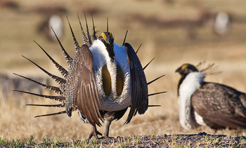 Biologists estimate the number of sage grouse is down by as much as 95 percent from historic levels. (BLM)