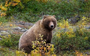 One group estimates 56 Yellowstone grizzlies died in 2017, the vast majority killed by people.  (Skeeze/Pixabay)