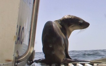 Scientists say they've encountered many emaciated sea-lion pups in recent years due to dwindling anchovy and sardine fisheries, primary food sources for sea lions. (Oceana)