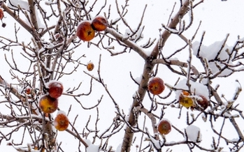Volatile weather, such as an early freeze, can hurt the apple harvest in Minnesota. (Aaron Hawkins/Flickr)