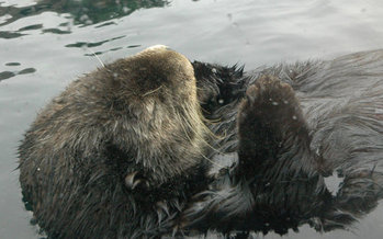 Experts say sea otters keep sea urchins from ravaging kelp forests, maintaining habitat for fish. (Kconnors/Morguefile)