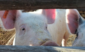 Two large-scale hog farm operations have already been proposed in North Dakota. (rygudguy/Pixabay)