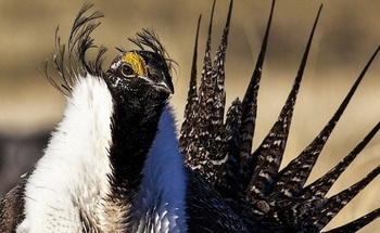 Wyoming was a leader in a decade-long effort to conserve sage-grouse habitat that also supports more than 350 other species. (BLM)