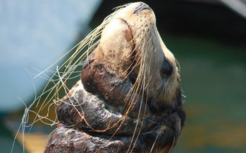 Sea lions and other animals can be injured or killed by lost or discarded fishing gear. (Tom Campbell/Marine Photobank)