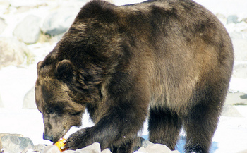 No longer protected as an endangered species, Wyoming has proposed allowing grizzly bear hunts this fall. Montana declined to do the same. (Ellie Attebery/Flickr)