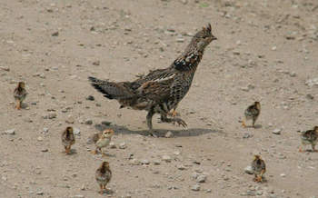 Pennsylvania's state bird, the ruffed grouse, is among 314 climate-threatened species. (Lindsay Stedman/USFWS)