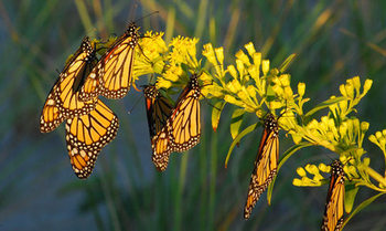 The eradication of milkweed in South Dakota has reduced food for monarch butterflies, now included on the endangered species list. (nature.org)