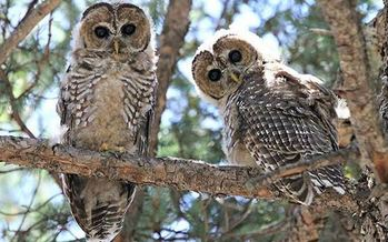 The New Mexican Spotted Owl is one of several threatened wildlife species in the state. (nps.gov)