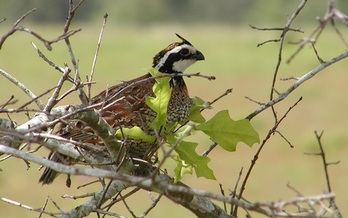 The Bobwhite Quail is one of 377 species in Arkansas which, due to habitat loss, are at risk of becoming extinct. (USFWS)