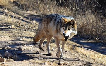 The Mexican gray wolf was almost eliminated from the wild by the 1970s, but a court ruling this week could help ensure its comeback in the Southwest. (Larry Lamsa/Flickr)
