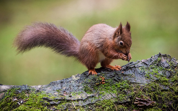 The red squirrel is among the species in Tennessee at risk of being added to the endangered species list. (Richard Towell/flickr)