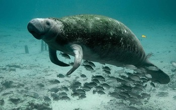 The manatee is just one iconic Florida species on the federal endangered species list. (Pixabay)