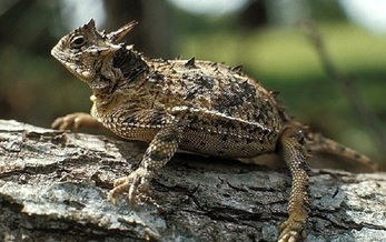 The Texas Horned Lizard, also called a