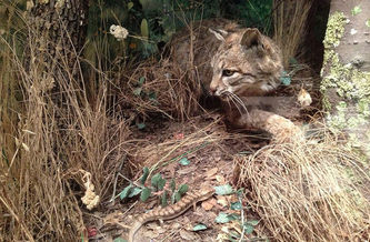 Bobcats are considered an apex predator in Ohio. Bruce Washburn/Flickr)