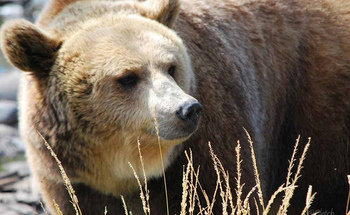 There are about 700 grizzly bears in the Greater Yellowstone Ecosystem. (Pat (Cletch) Williams/Flickr)