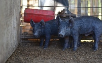 CAFOs house large numbers of pigs, chickens, cows or other farm animals in what are described as