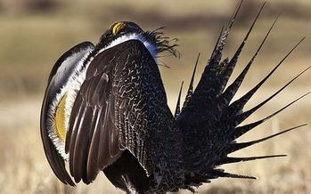 Conservationists are hoping a federal judge in Boise, Idaho will agree that the Bureau of Land Management is not taking a balanced approach to land management by opening up sensitive sage grouse habitat for energy development. (BLM)