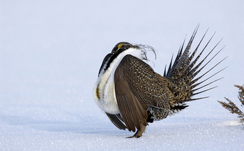 Sage grouse numbers in the West have declined as much as 95 percent in recent decades. (USDA)
