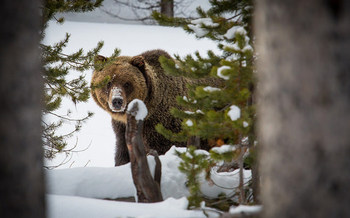 One more female and male grizzly bear could be killed during Wyoming's hunting season this fall because of a transfer from Montana. (Neal Herbert/Yellowstone National Park)