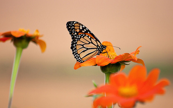 It's estimated that pesticides are a major factor in the dwindling numbers of monarch butterflies. (Emily Carlin/Flickr)