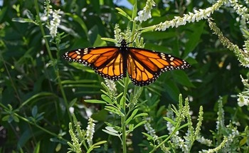 Public comments are being solicited through May 31 on a draft conservation plan to reverse the decline of the eastern monarch butterfly population. (Pixabay)