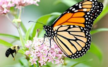 The mid-America monarch migration route in need of more milkweed spans from Texas to North Dakota and east to Ohio.